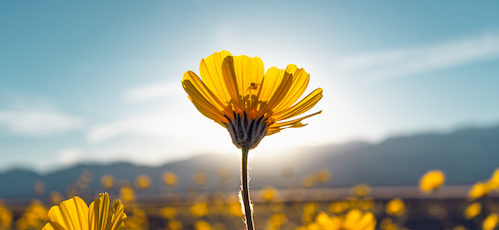 Desert Blossom Sunflowers at Sunset, Death Valley National Park, California